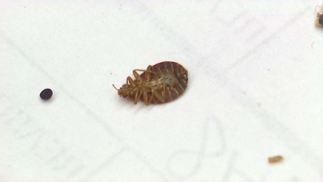 how bed bugs infest buildings